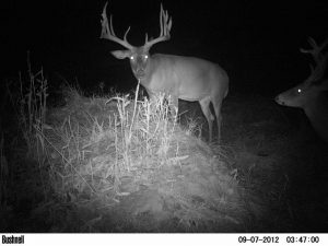 High Fence white tail deer