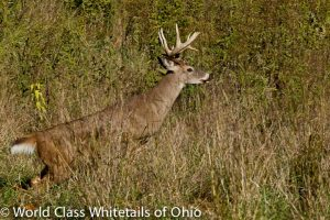 Whitetail deer hunt Ohio