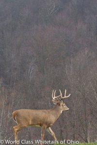 Whitetail deer hunt Ohio