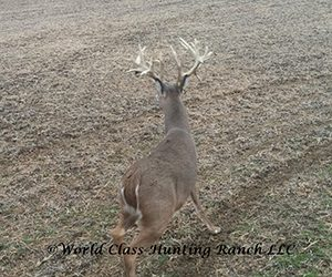 Non-typical whitetail deer